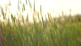 Wheat field with a wind breeze