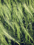 Natural abstract eco background with green fresh wheat in the wind Royalty Free Stock Image