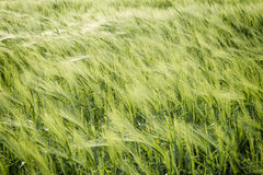 Natural abstract eco background with green fresh wheat in the wind Stock Photos