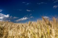 Wheat field in the wind with perfect blue sky Royalty Free Stock Image