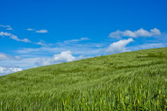 Wheat field with wind in spring in Val Trebbia, Italy Stock Images