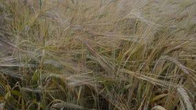 Wheat field on wind stock footage