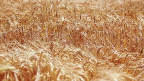 Wheat field at wind on sunny spring day stock footage
