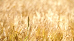 Wheat field at wind on sunny spring day stock video footage