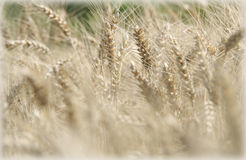 Wheat field in the wind Stock Photography
