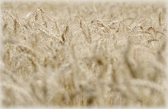 Wheat field in the wind Royalty Free Stock Photo