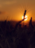 Wheat field with wonderful sunset in background Stock Images