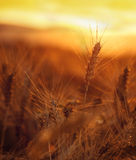 Wheat field with wonderful sunset in background Stock Image