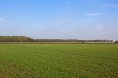 Wheat field and woodlands. A green wheat field with autumnal woodland on the horizon under a blue sky in the yorkshire wolds Stock Photo