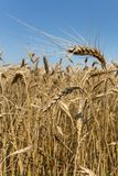 Wheat field. Wheat yellow field, close up Royalty Free Stock Image