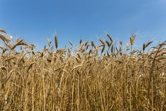 Wheat field. Wheat yellow field, close up Royalty Free Stock Photo