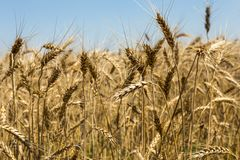 Wheat field. Wheat yellow field, close up Stock Image