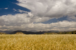 Wheat Field. Yellow grain growing in a farm field over bright sun Royalty Free Stock Photography