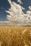Wheat Field. Yellow grain growing in a farm field over bright sun Royalty Free Stock Images