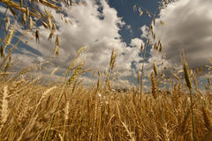 Wheat Field. Yellow grain growing in a farm field over bright sun Stock Photos
