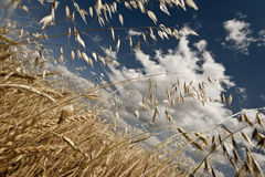 Wheat Field. Yellow grain growing in a farm field over bright sun Stock Image