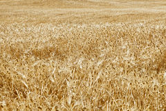 Wheat Field. Yellow grain growing in a farm field over bright sun Stock Images