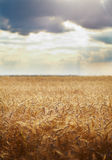 Wheat field Royalty Free Stock Photo