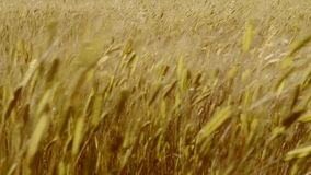 Wheat field stock video