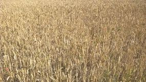 Wheat field in Yorkshire Royalty Free Stock Photos