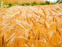 Wheat. Field for you to show off against the Turks Royalty Free Stock Images