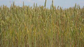 Wheat field stock video