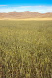 Wheat field. Royalty Free Stock Images