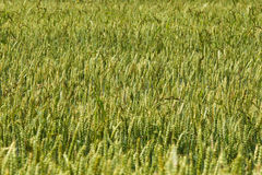 Wheat field. Young green wheat field panorama Royalty Free Stock Photos