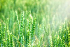 Wheat field -Young green wheat Royalty Free Stock Image