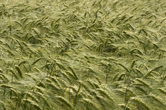 Wheat fields Stock Photos