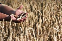 Wheat fields. Wheat closeup on golden summer field Stock Photos