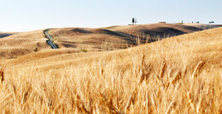 Wheat fields. And cypress trees on a hill in Tuscany, Italy Stock Photo
