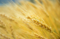 Wheat Fields. In Furano, Japan Royalty Free Stock Images