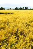 Wheat fields. A wheat field landscape with trees and a house in the distance. There's also a crop circle on the left royalty free stock photography