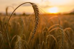 Free Wheat Fields Stock Images - 56767984