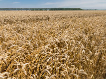 Wheat fields, agriculture in the Netherlands Stock Photo