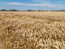 Wheat fields, agriculture in the Netherlands Stock Images