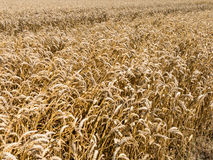 Wheat fields, agriculture in the Netherlands Royalty Free Stock Photography