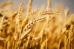 Wheat fields. Beautiful golden yellow wheat fields Royalty Free Stock Photography