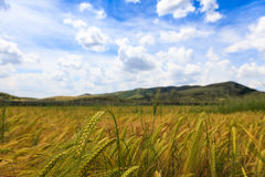 Wheat fields with blue sky Stock Photography