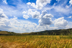 Wheat fields with blue sky Stock Image