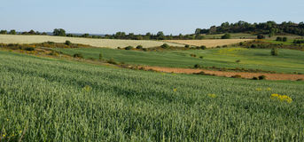 Wheat fields and Cereals Stock Photography