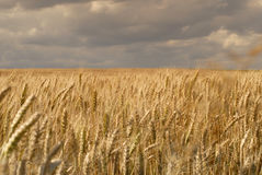 Wheat fields with clouds. A windy stretch of wheat fields with a stormy and cloudy sky. Food and staple crop. Scientific name is Triticum spp, a type of grass Royalty Free Stock Photography