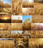 Wheat fields collage. Collage of wheat fields pictures, close ups and views stock photography