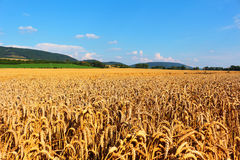 Wheat fields in countryside Royalty Free Stock Photo