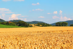 Wheat fields in countryside Royalty Free Stock Photography