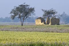 Wheat fields and a destroyed house, Bardia, Terai, Nepal Stock Photo
