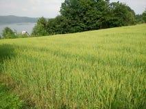 Wheat fields green royalty free stock photo
