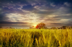 Wheat fields dramatic sky landscape towards light Royalty Free Stock Images