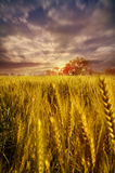 Wheat fields dramatic sky landscape towards light. Wheat fields with dramatic sky birds flying home at sunset sunrise in morning or evening landscape depicting Royalty Free Stock Photo
